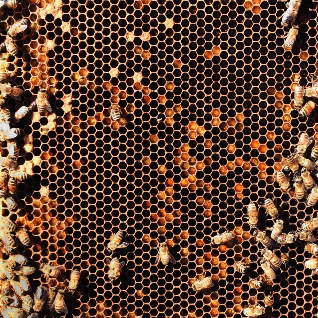 Honeybees in Minneapolis